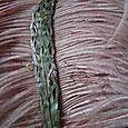 Abalone feathers 4